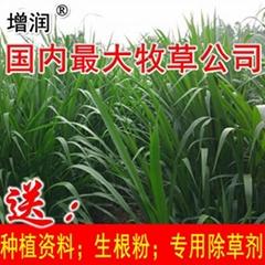 增润草种节包邮 高产牧草增润草种子种苗