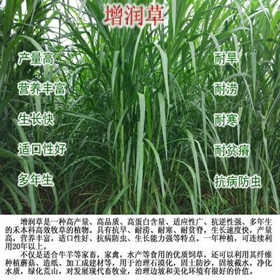 增潤草種節包郵 高產牧草增潤草種子種苗 2