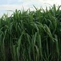 增潤草種節包郵 高產牧草增潤草種子種苗 3