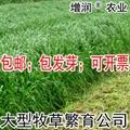 黑麥草種子包郵 特高冬牧70養殖多年生 1