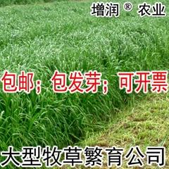 黑麥草種子包郵 特高冬牧70養殖多年生