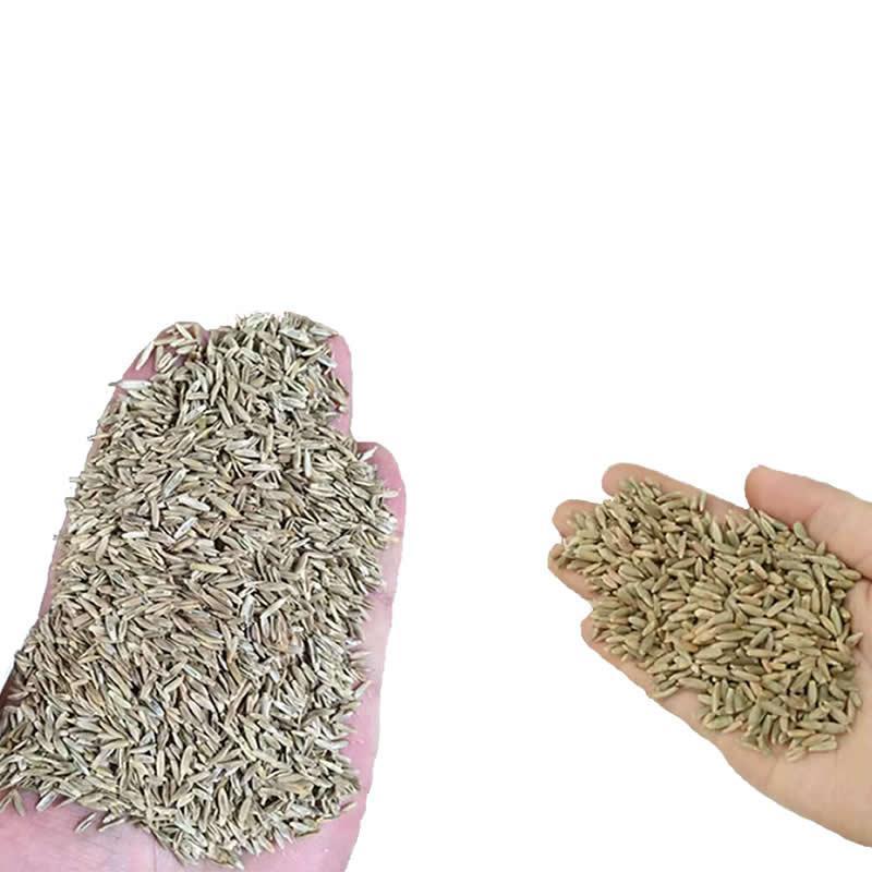 黑麥草種子包郵 特高冬牧70養殖多年生 5