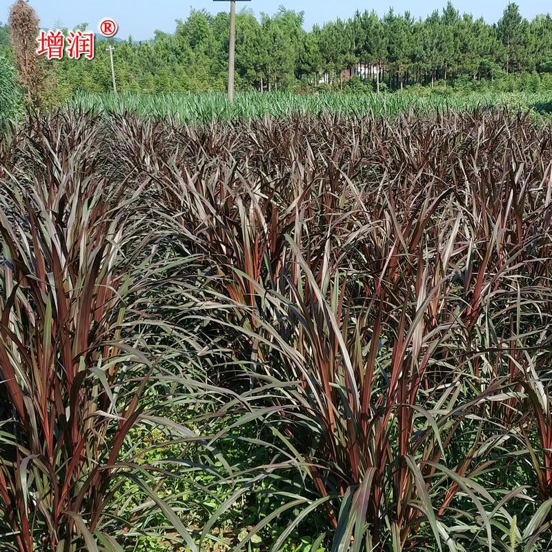巴西紅象草 紫色皇竹草牧草種子 紅象草種節種苗包郵 3