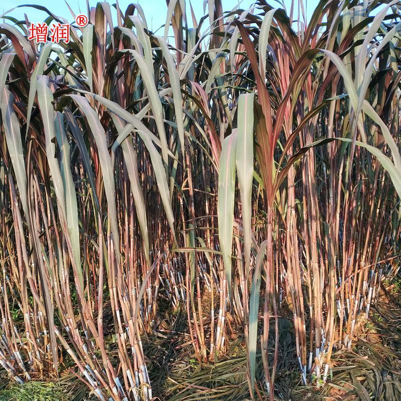 巴西紅象草 紫色皇竹草牧草種子 紅象草種節種苗包郵 4