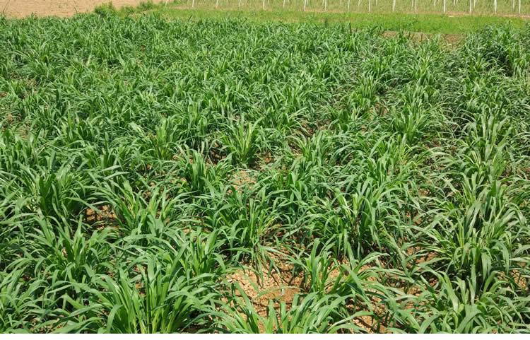 巨菌草種節增潤四季多年生南方高產牧草種子 1