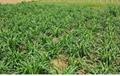 巨菌草種節增潤四季多年生南方高
