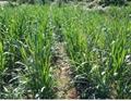 巨菌草種節增潤四季多年生南方高產牧草種子 2
