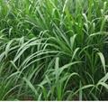 巨菌草種節增潤四季多年生南方高產牧草種子 3