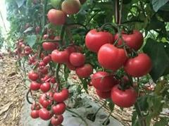 双抗番茄 京谷2-6