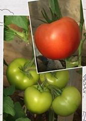 抗TY抗线虫大红番茄--智谷918