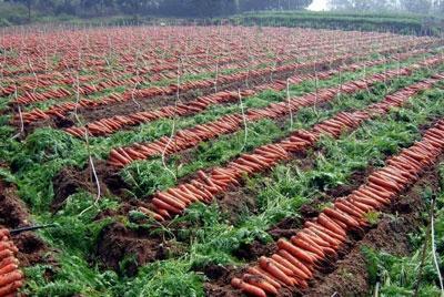 開封胡蘿蔔 1