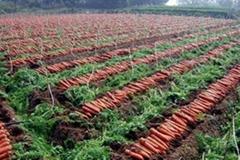 開封胡蘿蔔