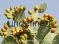 梨果仙人掌果粉/提取物 2
