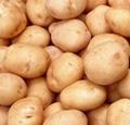 Slendessta 马铃薯提