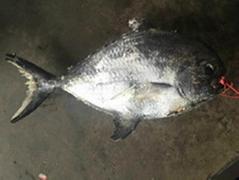 Frozen Angel Fish