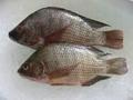 Frozen Tilapia Fish 1