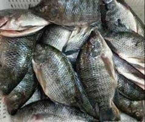 Frozen Tilapia Fish 2