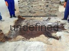 Wet Salted Donkey  Camel Hides 2