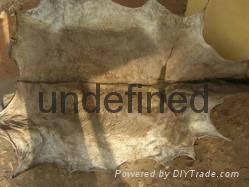 Wet Salted Donkey  Camel Hides 1