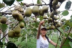 批发周至原产地专家指导成活率高金艳猕猴桃树苗