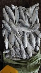 Frozen Hard Tail/Horse Mackerel For Market