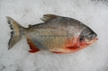 Red Pomfret/ Pacu