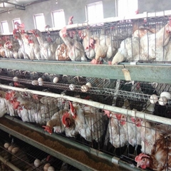 poultry farm house chicken cage for kenya