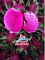 Fresh/ Dried/ Frozen Dragon fruit (Pitaya) 2