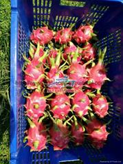 Fresh/ Dried/ Frozen Dragon fruit (Pitaya)