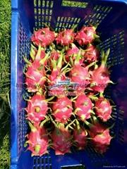 White flesh Dragon fruit (Pitaya)