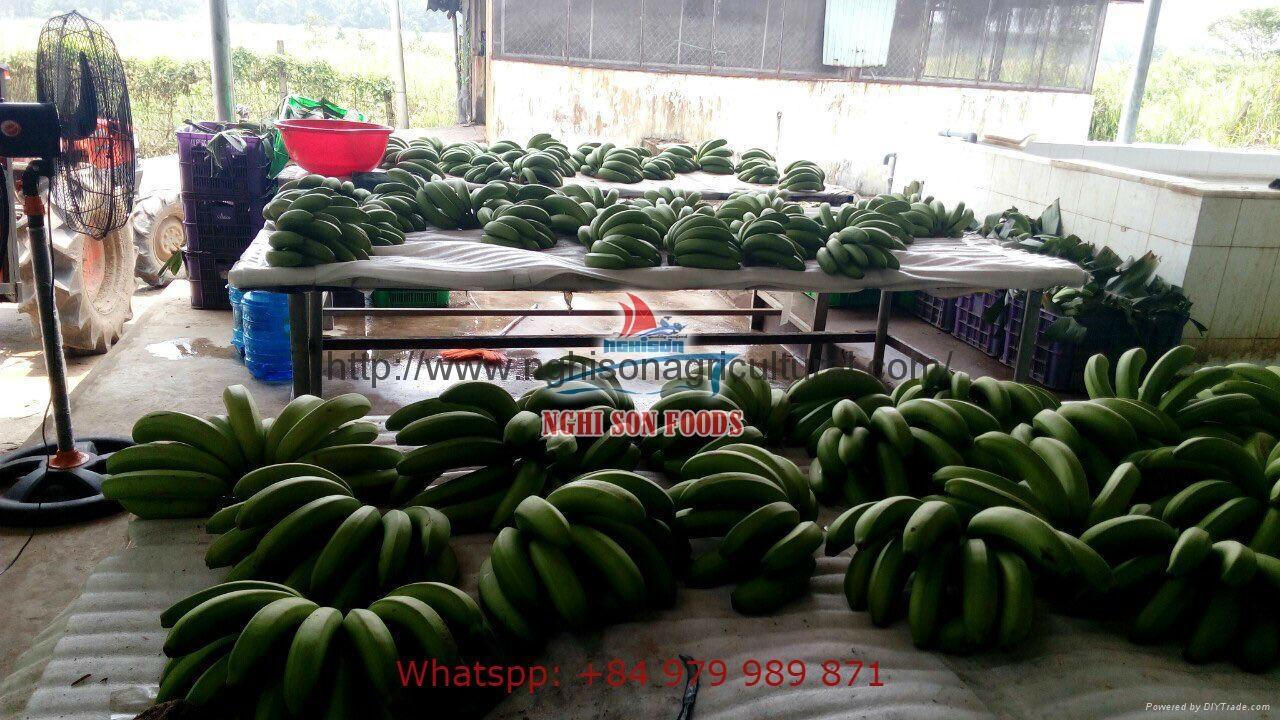 Cavendish Banana/ Green Banana premium quality 2