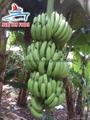Cavendish Banana/ Green Banana premium