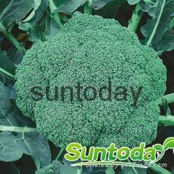 Sutnoday 65 days after transplanting broccoli seeds 1