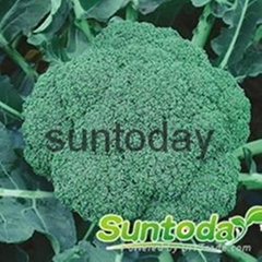 Sutnoday 65 days after transplanting broccoli seeds