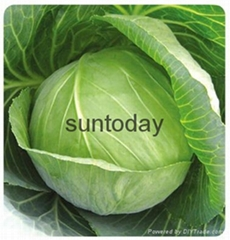 Sutnoday compact,round shape,green colour cabbage seeds