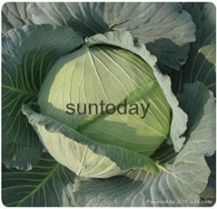 Sutnoday compact dark green cabbage seeds(31002)