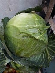 Sutnoday compact  flat dark green cabbage seeds