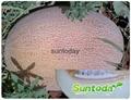 SutnodayAnanas type White flesh melon