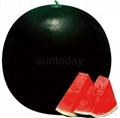Sutnoday Hybrid watermelon seedless