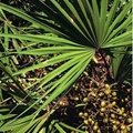 Saw Palmetto extract---New Mstar---Simin