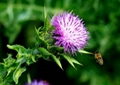 Milk Thistle extract---New Mstar---Simin
