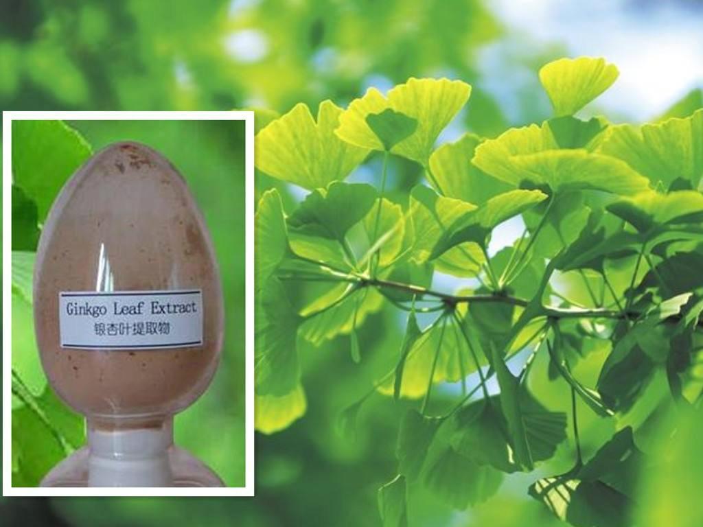 Ginkgo biloba extract 24%/6% CP2005 1