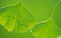 Ginkgo biloba extract 24%/6% CP2005 2