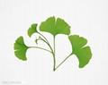 Plant extract Ginkgo biloba extract 24%