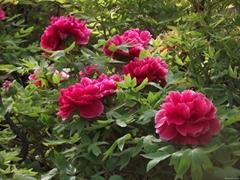牡丹宮品牌盆栽花卉牡丹苗木