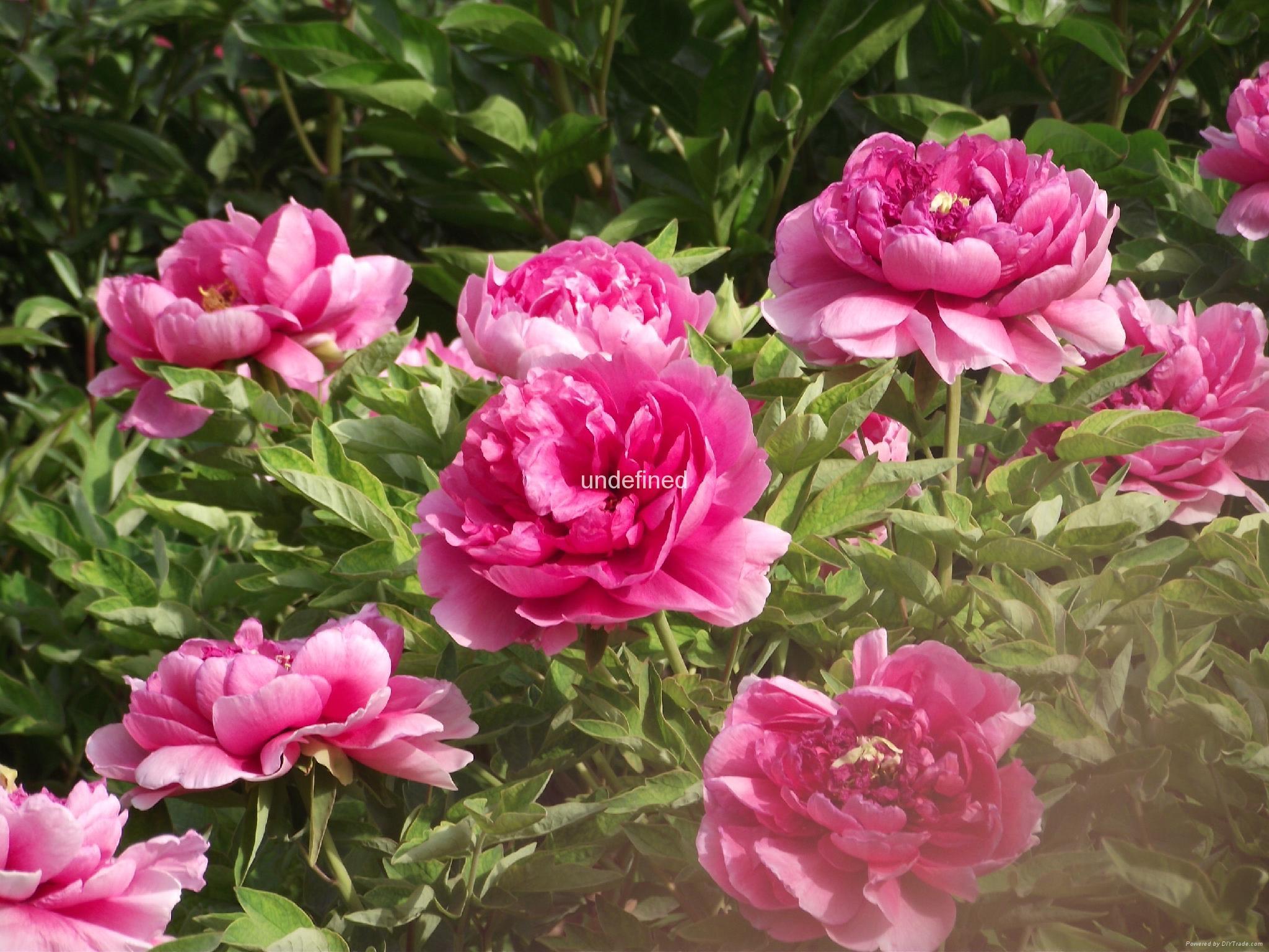 牡丹宮品牌盆栽花卉牡丹苗木 4
