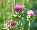 Top Quality And Low Price Milk Thistle