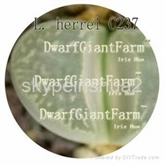 50pcs a set  Lithop Herrei seed DwarfGiantFarm irishua2
