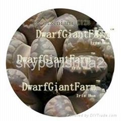50Pcs a set  Lithop Otzeniana seed DwarfGiantFarm irishua2