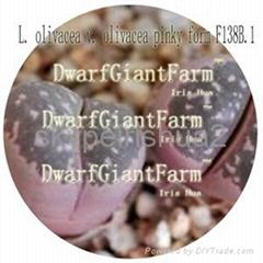50pcs  a set Lithop  Olivacea SEED DwarfGiantFarm irishua2